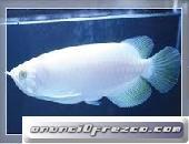 peces de acuario en venta (Arowana, Candy Basslet, Golden Basslet, Flower Horn Fish)