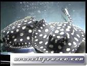 peces de acuario en venta (Arowana, Candy Basslet, Golden Basslet, Flower Horn Fish) 2