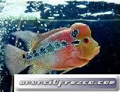peces de acuario en venta (Arowana, Candy Basslet, Golden Basslet, Flower Horn Fish) 3